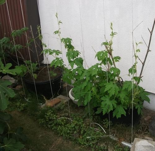 グリーンカーテン設置@トウモロコシの初収穫も _f0018078_17415159.jpg