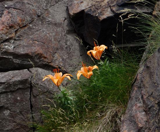 夏泊半島・大島の懐かしい花々♪_a0136293_1528143.jpg