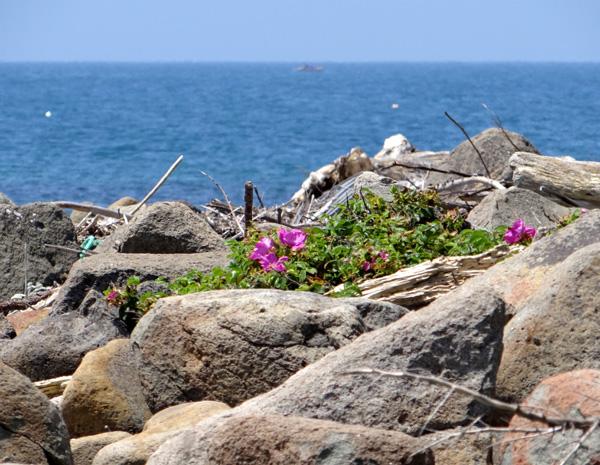 夏泊半島・大島の懐かしい花々♪_a0136293_15514845.jpg