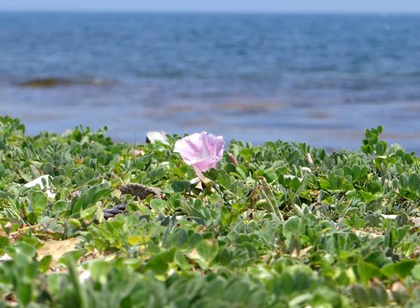 夏泊半島・大島の懐かしい花々♪_a0136293_15522376.jpg