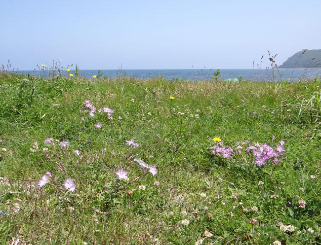 夏泊半島・大島の懐かしい花々♪_a0136293_1614012.jpg