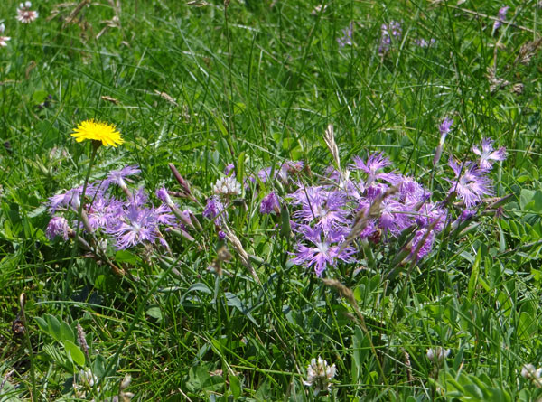 夏泊半島・大島の懐かしい花々♪_a0136293_161632100.jpg