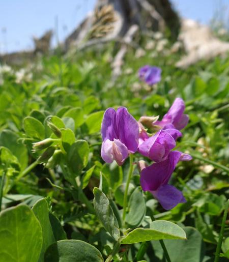 夏泊半島・大島の懐かしい花々♪_a0136293_1617699.jpg
