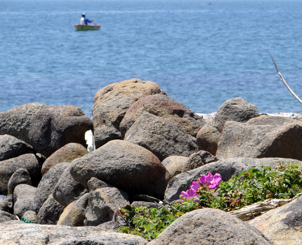 夏泊半島・大島の懐かしい花々♪_a0136293_16193512.jpg
