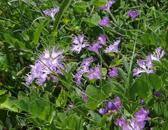 夏泊半島・大島の懐かしい花々♪_a0136293_1621530.jpg