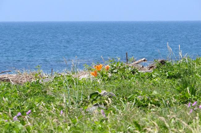 夏泊半島・大島の懐かしい花々♪_a0136293_1642924.jpg