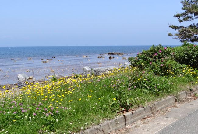 夏泊半島・大島の懐かしい花々♪_a0136293_16485660.jpg