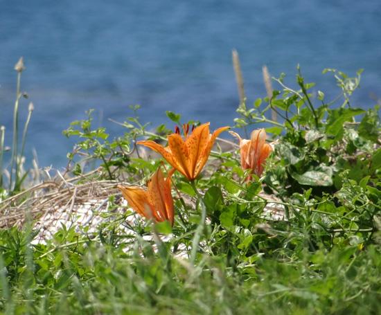 夏泊半島・大島の懐かしい花々♪_a0136293_166134.jpg