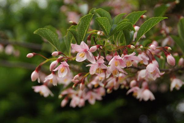 エゴノ木の花_d0162994_8555373.jpg