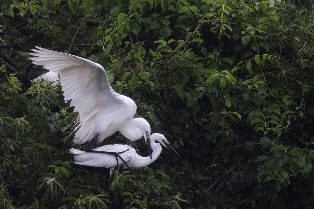 白鷺、その7_c0077395_19503844.jpg