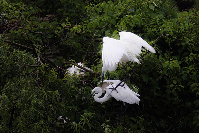 白鷺、その7_c0077395_19511524.jpg