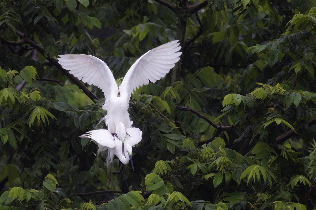 白鷺、その7_c0077395_19513816.jpg