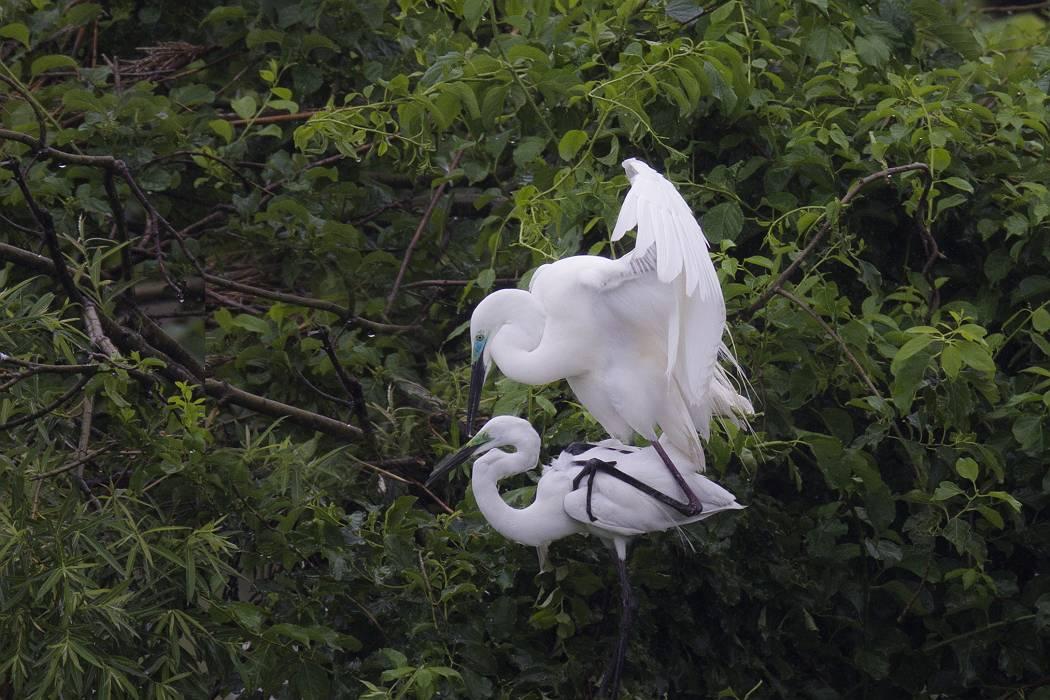 白鷺、その7_c0077395_19515149.jpg