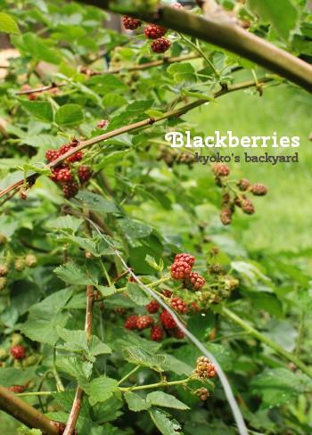 裏庭のブラックベリーの様子。初収穫も。_b0253205_210344.jpg