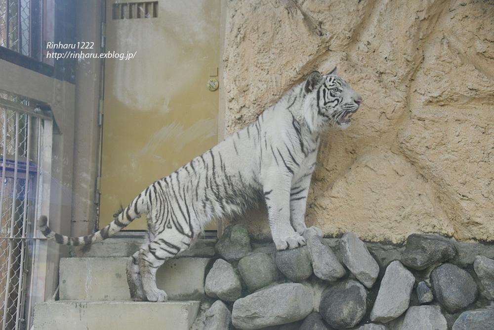 2014.6.29 東武動物公園☆ホワイトタイガーのスカイくん【White tiger】_f0250322_2157356.jpg
