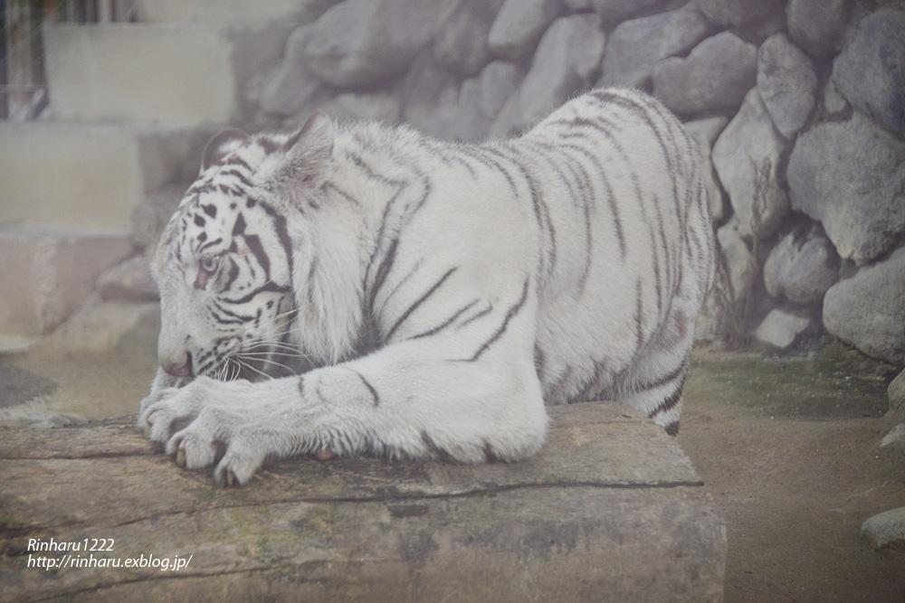 2014.6.29 東武動物公園☆ホワイトタイガーのスカイくん【White tiger】_f0250322_215782.jpg