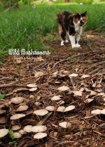裏庭に現れたマッシュルーム(と猫の反応)_b0253205_2252878.jpg