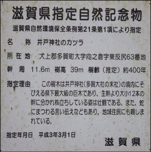 井戸神社のカツラ_f0053342_10143055.jpg