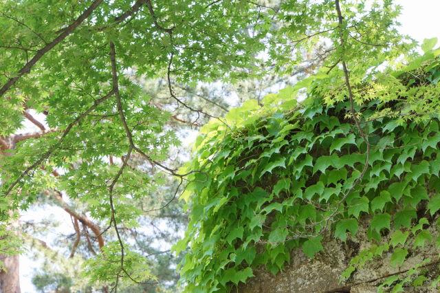 新緑の鶴ヶ城_a0257652_854276.jpg