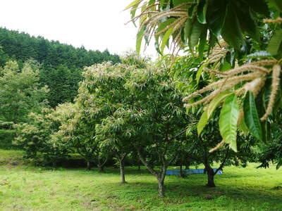利平栗 栗の王様『利平栗』 今年も自然栽培で育っています!!_a0254656_17453335.jpg