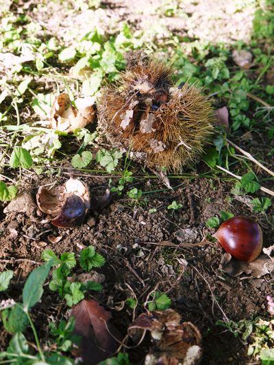 利平栗 栗の王様『利平栗』 今年も自然栽培で育っています!!_a0254656_1802979.jpg