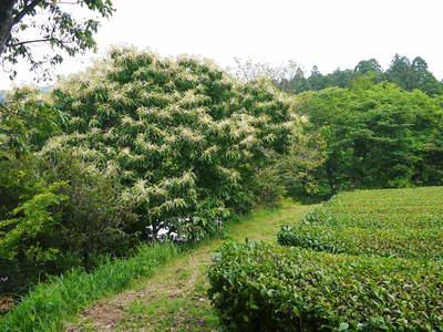 利平栗 栗の王様『利平栗』 今年も自然栽培で育っています!!_a0254656_18102160.jpg
