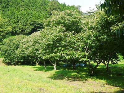 利平栗 栗の王様『利平栗』 今年も自然栽培で育っています!!_a0254656_18324539.jpg