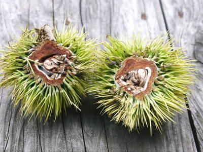 利平栗 栗の王様『利平栗』 今年も自然栽培で育っています!!_a0254656_18363556.jpg