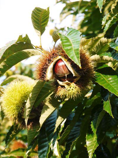 利平栗 栗の王様『利平栗』 今年も自然栽培で育っています!!_a0254656_18472778.jpg