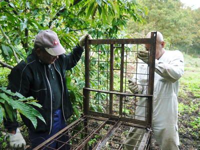 利平栗 栗の王様『利平栗』 今年も自然栽培で育っています!!_a0254656_18524391.jpg