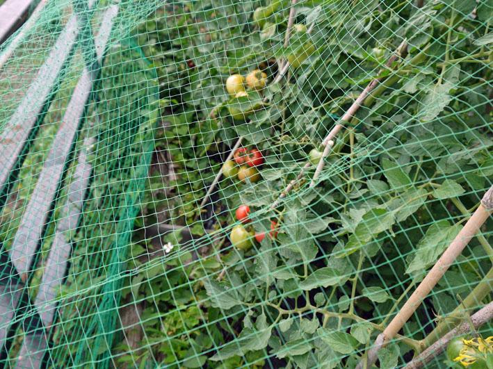 朝採りのトマト、キュウリ、バジル、アオジソ(6・30)_c0014967_10193734.jpg