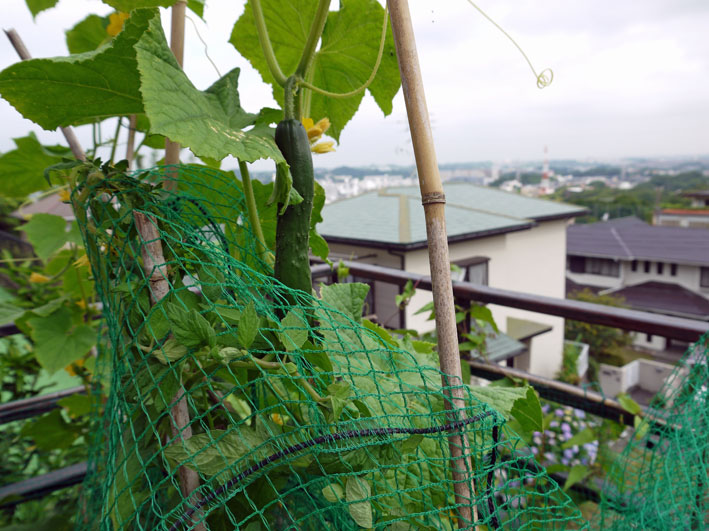 朝採りのトマト、キュウリ、バジル、アオジソ(6・30)_c0014967_1019549.jpg