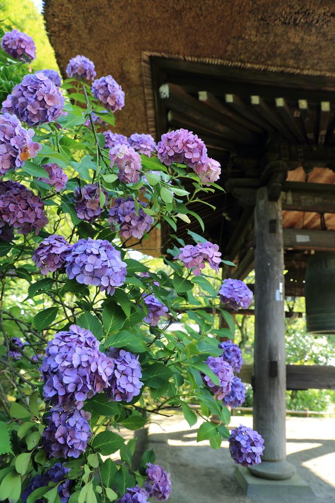 鎌倉と紫陽花_b0275998_1038582.jpg