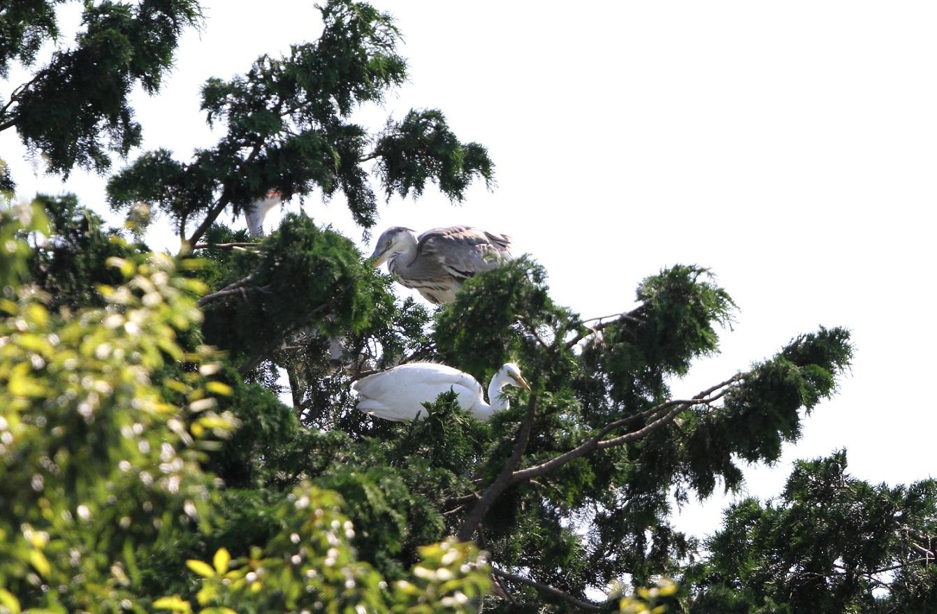 サギのコロニーでの巣立ちが見られました‼_f0239515_23281168.jpg