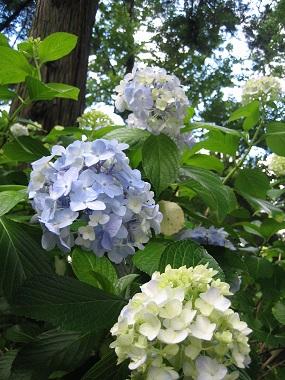 筑波山と紫陽花とセキュリティの変更_b0100229_1632411.jpg