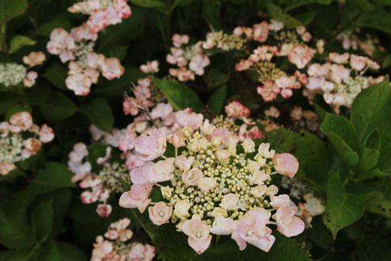 紫陽花(3)_c0093046_6363860.jpg