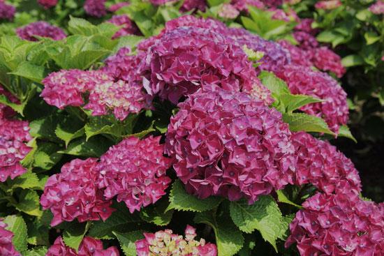 紫陽花(3)_c0093046_636494.jpg