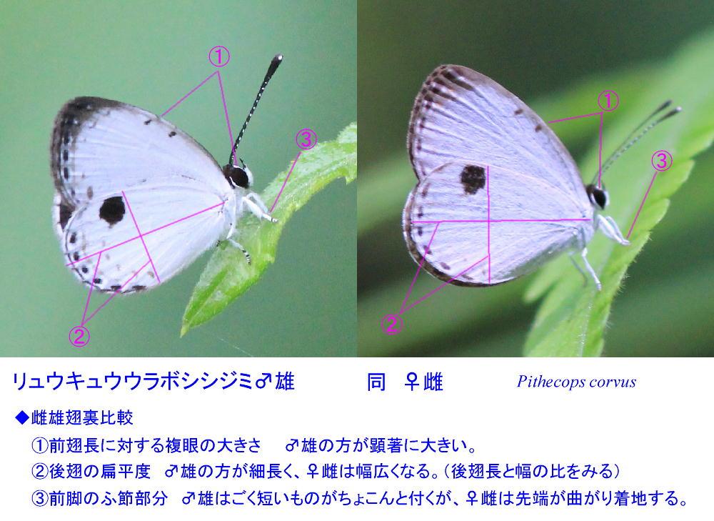 リュウキュウウラボシシジミ  これはかわいい。 2014.6.22沖縄04 (雌雄比較図追加)_a0146869_22125847.jpg