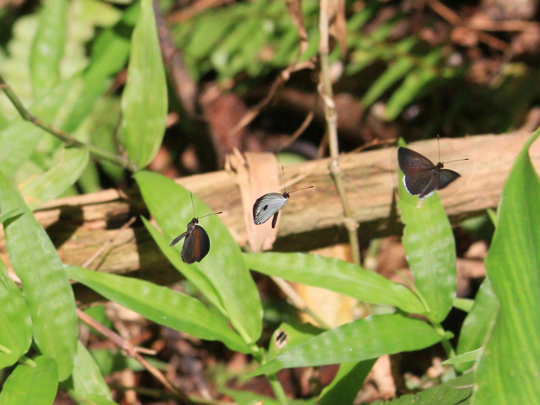 リュウキュウウラボシシジミ  これはかわいい。 2014.6.22沖縄04 (雌雄比較図追加)_a0146869_6244376.jpg