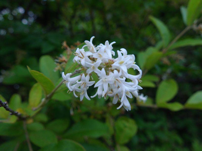 クリの開花 (写真1枚追加)_c0025115_19331078.jpg