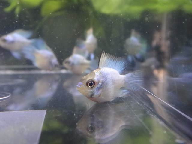 140703 熱帯魚・水草・金魚_f0189122_1358840.jpg