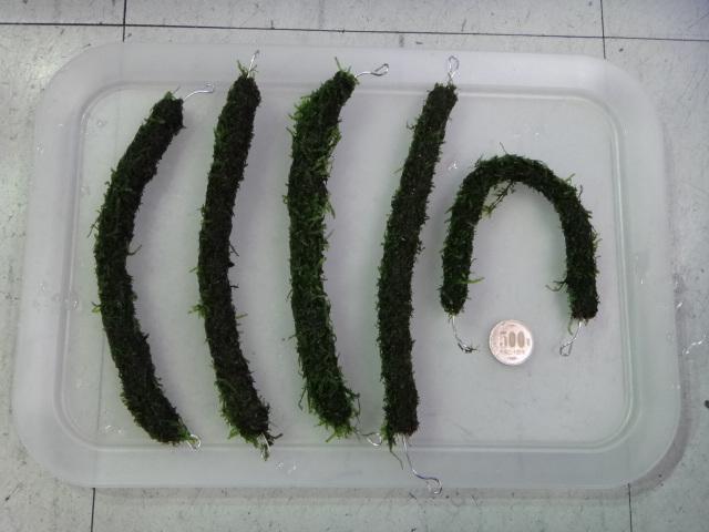140703 熱帯魚・水草・金魚_f0189122_1473827.jpg