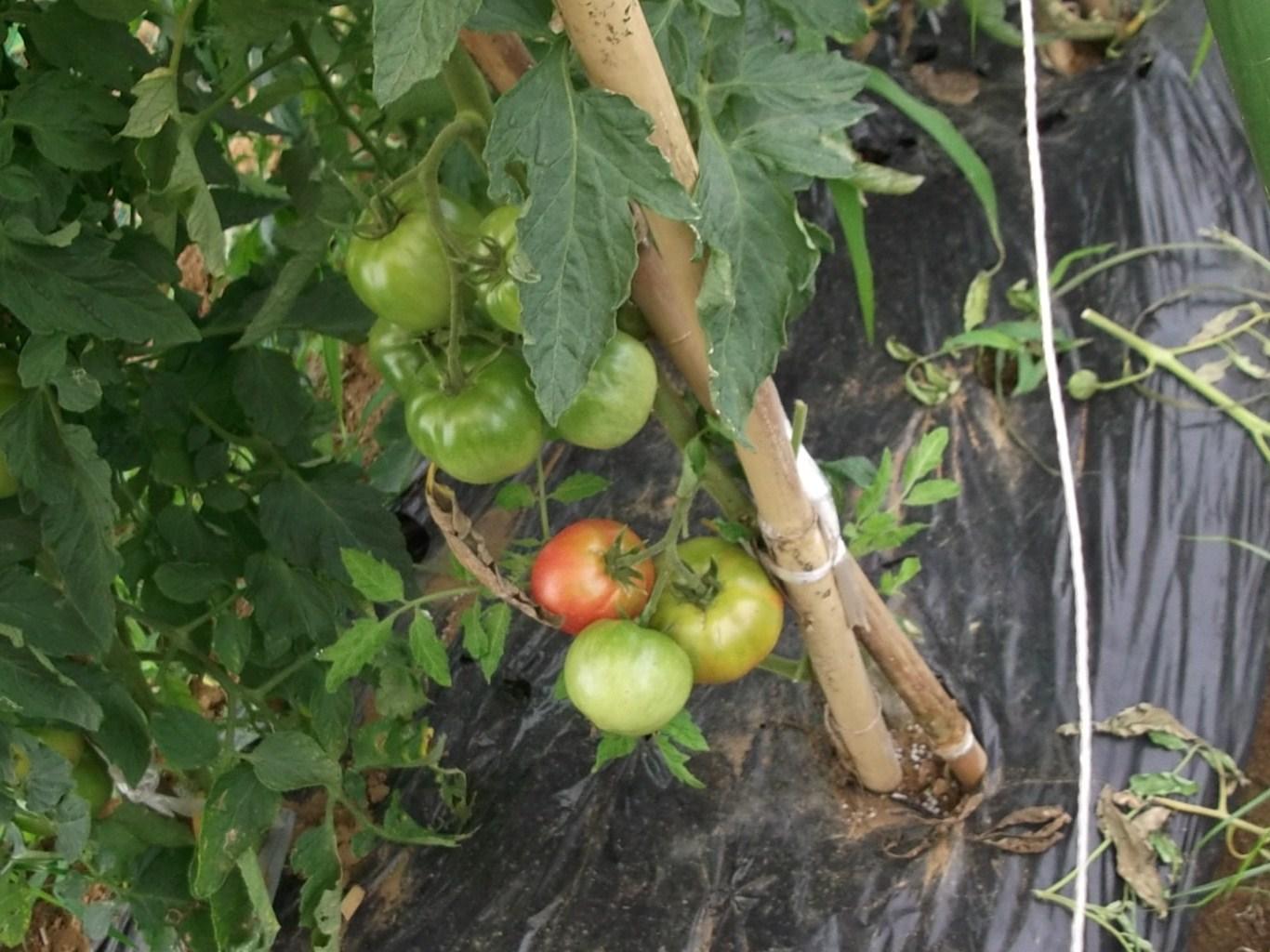 獲ったぞ~トマトが赤くなりました。_b0137932_1759670.jpg