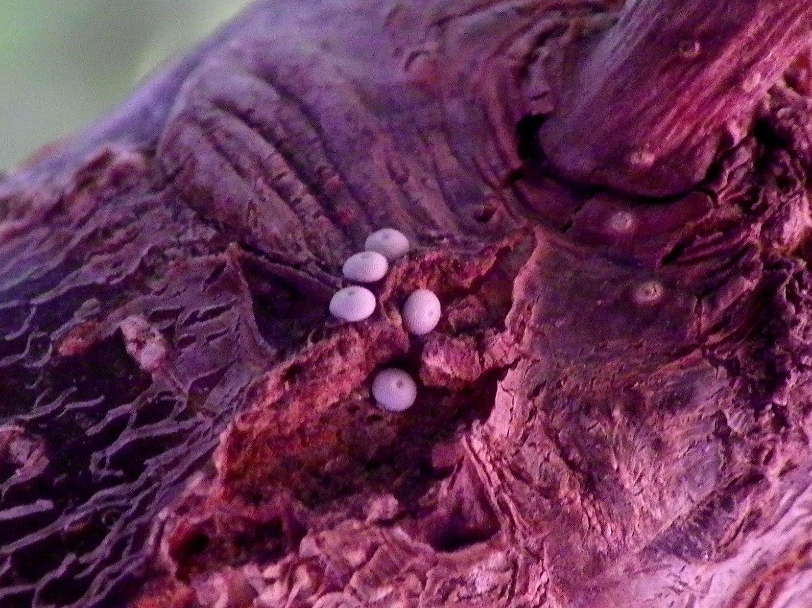 ミドリシジミの卵 庭のハンノキで_d0254540_19141866.jpg