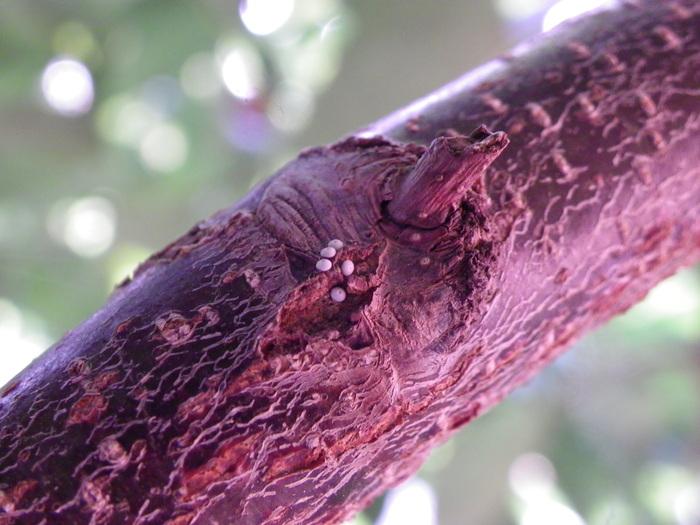 ミドリシジミの卵 庭のハンノキで_d0254540_19144128.jpg