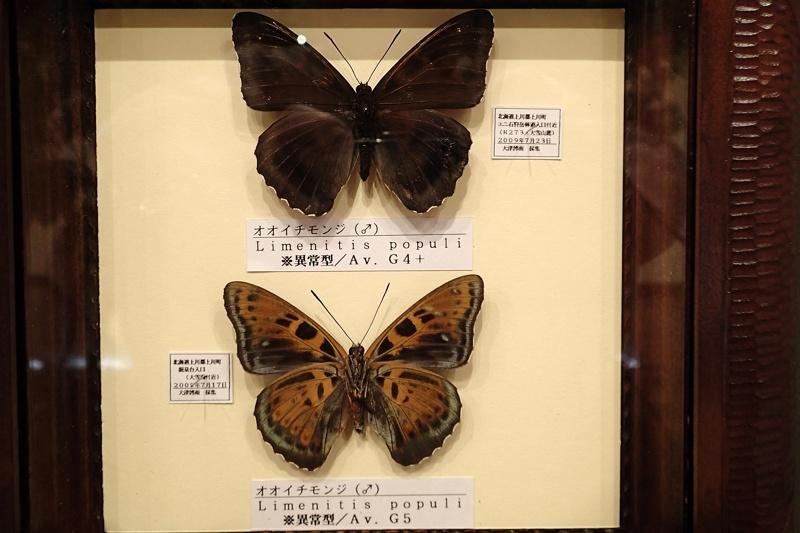 40数年ぶりの北海道旅行2(オオイチモンジ:2014/6/29)_f0031682_22342454.jpg