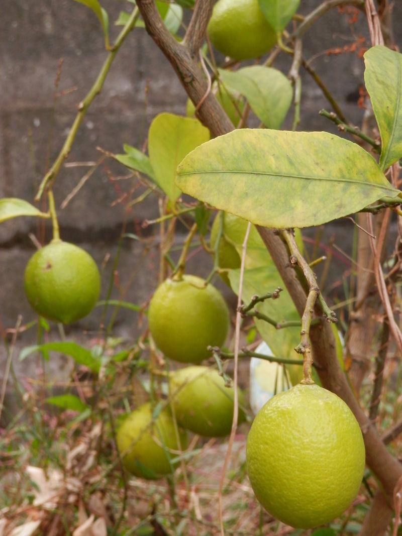 旬発売、「蜂蜜、レモンアイス」_a0125419_19284158.jpg