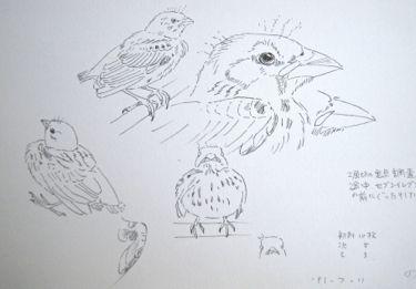 『 #sketch 』 河原鶸_a0083553_905088.jpg