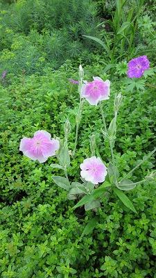ロックガーデンの花たち14_b0219993_1436243.jpg