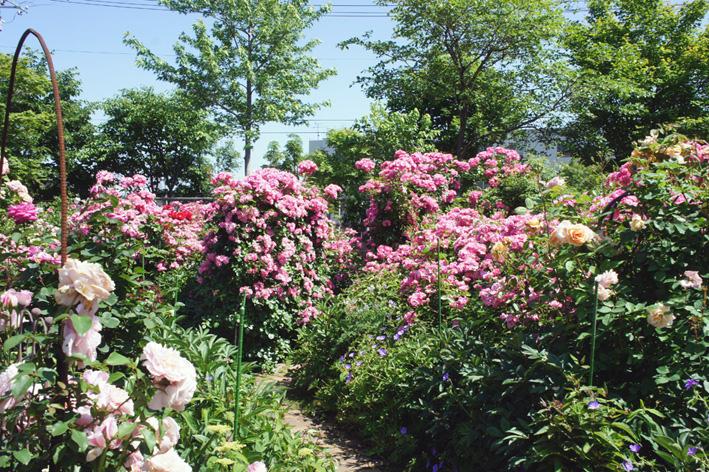 ローズ(ショー)ガーデン!_f0160407_452445.jpg